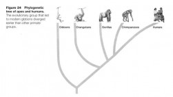 apes-and-humans-tree