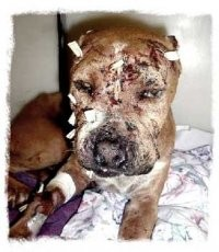 stop.pit.bull.fighting..animal.abuse