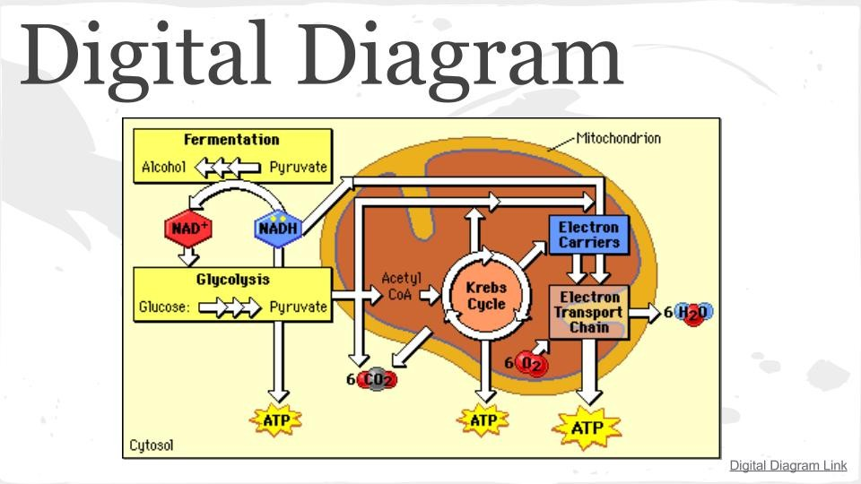 Cellular respiration presentation science leadership academy respiration ccuart Image collections