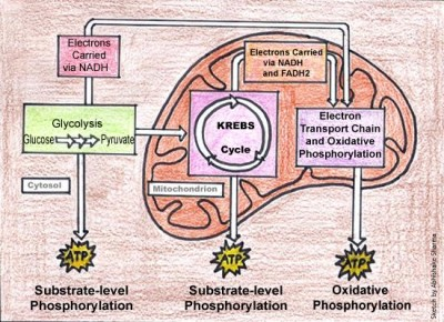 cellular-respiration-diagram
