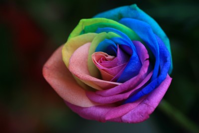 A-Single-Rainbow-Rose